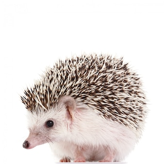 African hedgehog on white