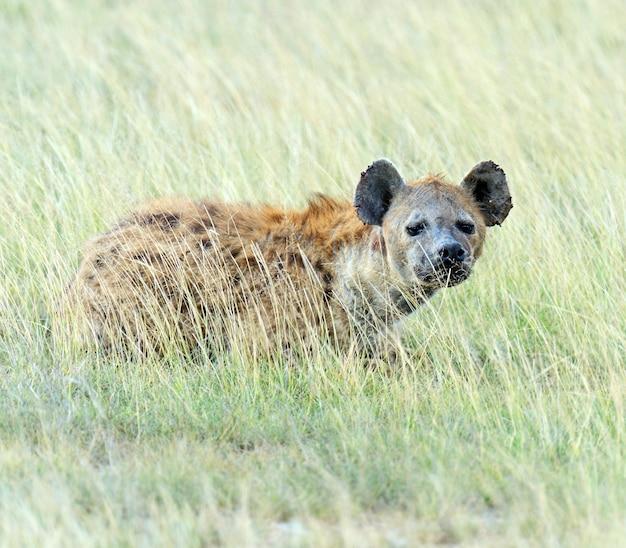 Африканские гиены в национальном парке амбосели. кения, африка.
