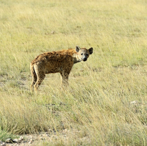 Африканские гиены в национальном парке амбосели. кения