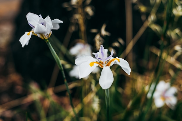 African iris pretty wild flowers in the nature