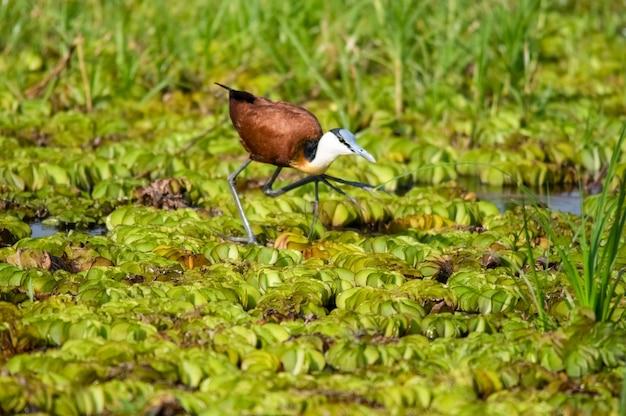 マーチソンフォールズ国立公園ウガンダアフリカの沼地に生息するアフリカレンカク