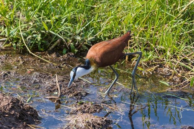 Африканское болото якана в амбосели, кения
