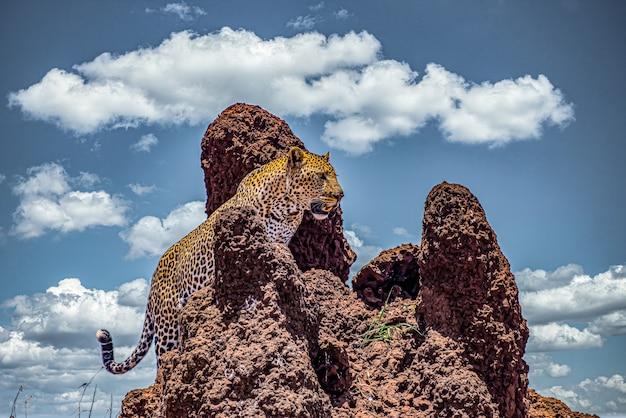 African leopard climbing a rocky cliff under a cloudy sky