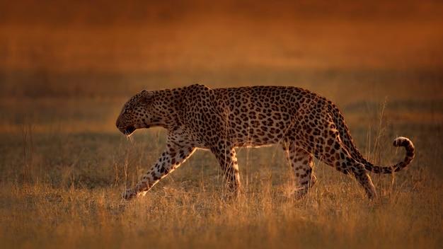 美しい夜の光の中でアフリカヒョウの女性のポーズ