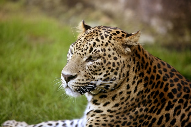 African leopard on green grass