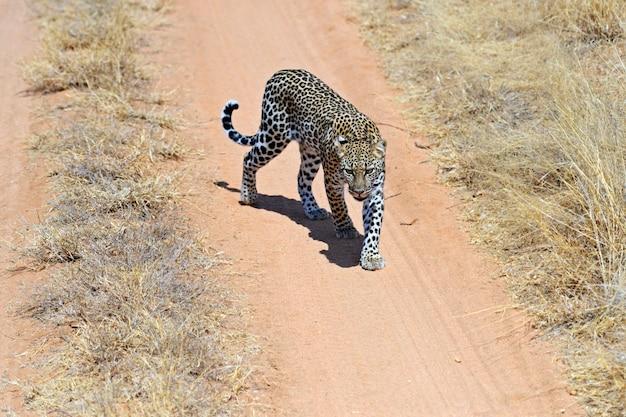 Африканский леопард в национальном парке самбуру. кения