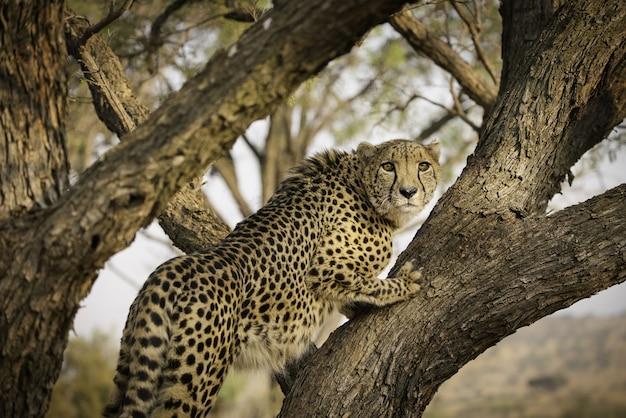 南アフリカの木の上のアフリカヒョウ
