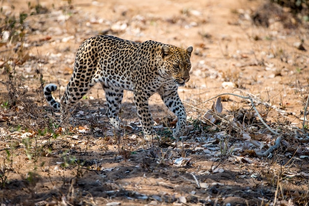 African leopard preparing to hunt a prey in a field under the sunlight Free Photo