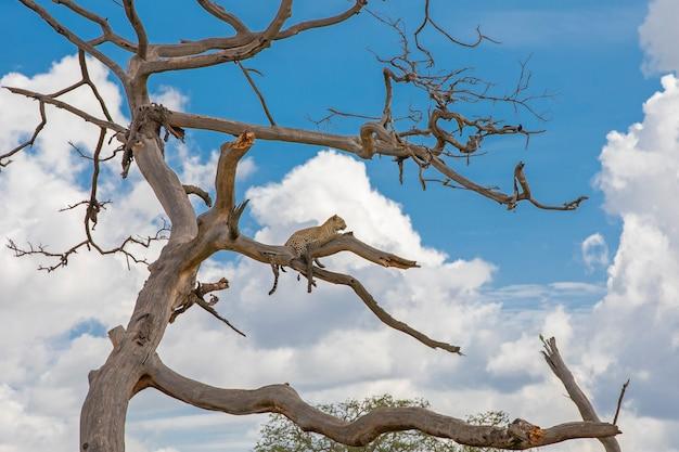 木で休んでいるアフリカヒョウ