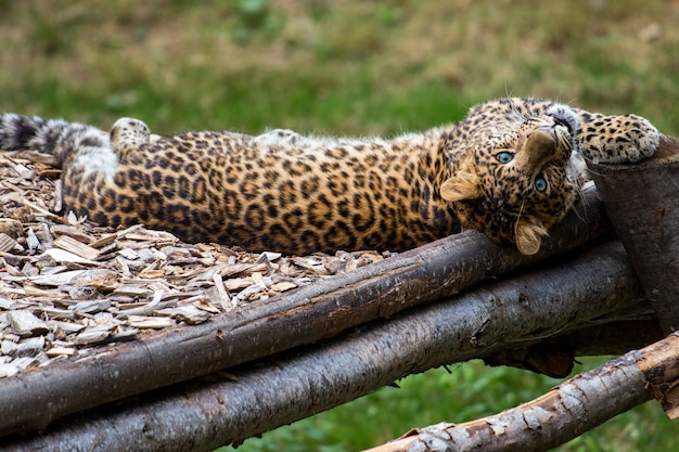 African leopard resting in a jungle and observing the surroundings