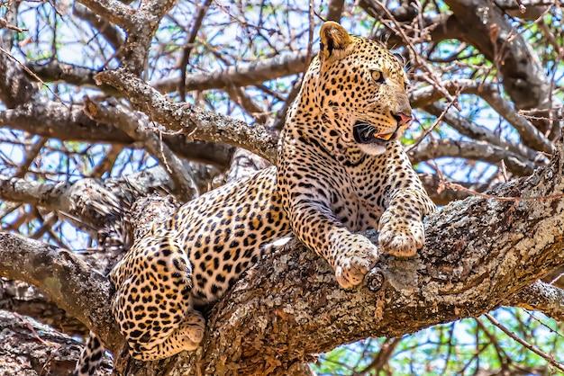 ジャングルの中を見回す木の上に座っているアフリカヒョウ