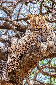 Африканский леопард сидит на дереве и оглядывается в джунглях