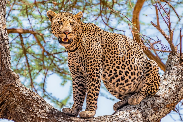 African leopard sitting on a tree looking around in a jungle