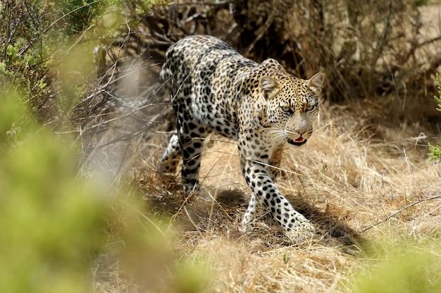 아프리카 표범 스토킹 또는 걷기, 케냐 국립 보호구, 아프리카