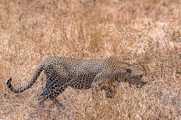 African leopard walking in a dry grassy field during daytime