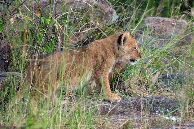 アフリカのライオンの子、(panthera leo)、ケニア、アフリカの国立公園