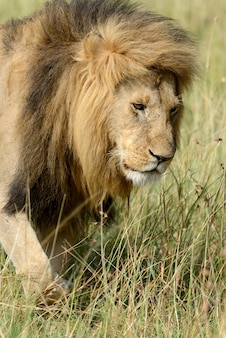 南アフリカ国立公園のアフリカ ライオン