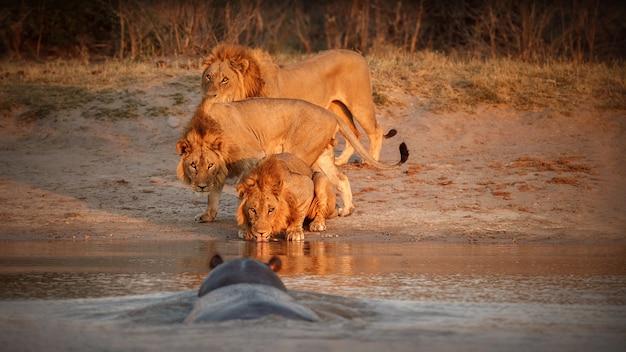 暖かい光の中でアフリカのライオンの肖像画