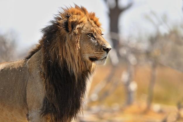非洲狮子画象在温暖的光