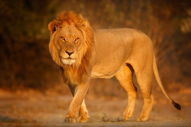 African lion portrait in the warm light