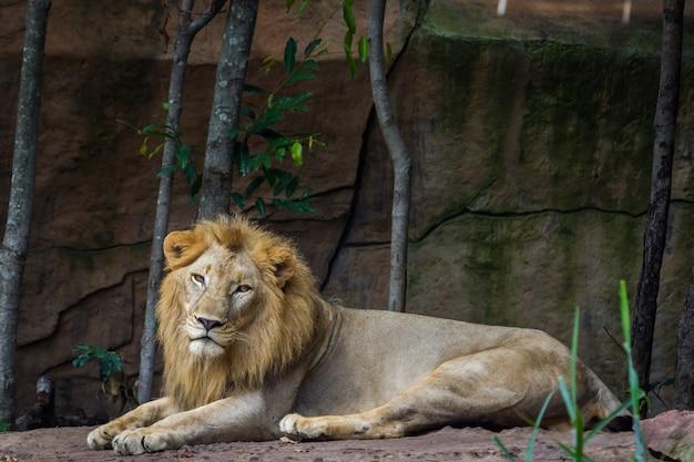 地面に座っているアフリカのライオン