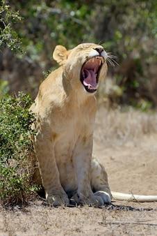 南アフリカ国立公園のアフリカの雌ライオン