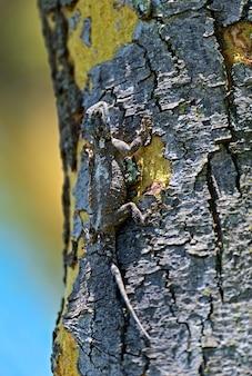 ナイバシャ湖の近くの木の上のサバンナのアフリカのトカゲ