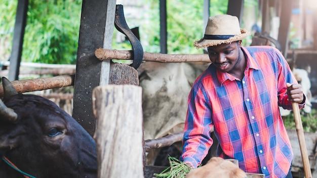 牛産業農場に立って餌をやるアフリカの男性農家農業または栽培の概念