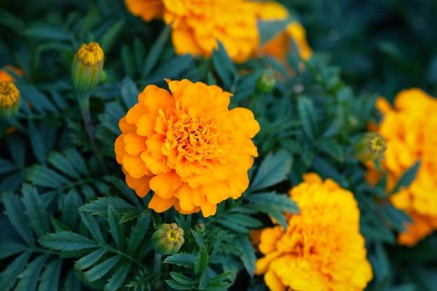 アフリカのマリーゴールドオレンジ色の花が庭に咲く、ストックフォト