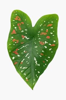 白のアフリカのマスク植物の葉