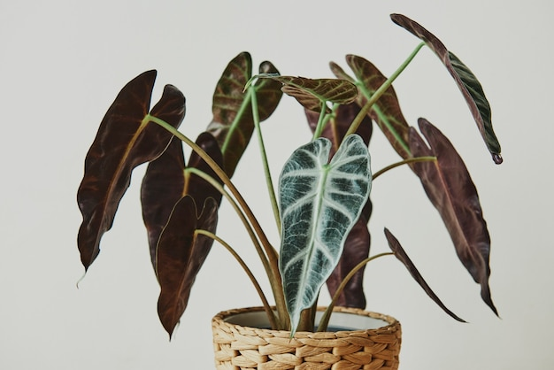 African mask plant on light gray background