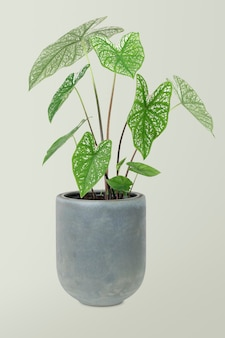 African mask plant in a pot