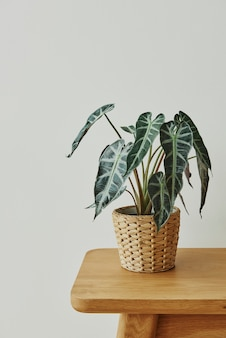 African mask plant in a rattan basket
