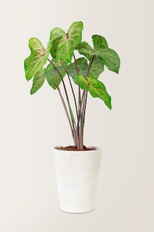 African mask plant in a white pot