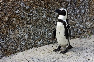 African penguin  beak