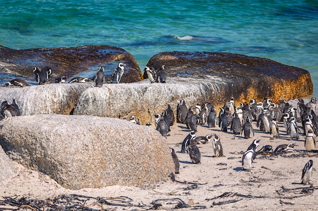 Африканская колония пингвинов на пляже боулдерс, южная африка