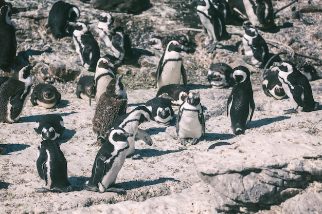African penguin colony in betty's bay, south africa