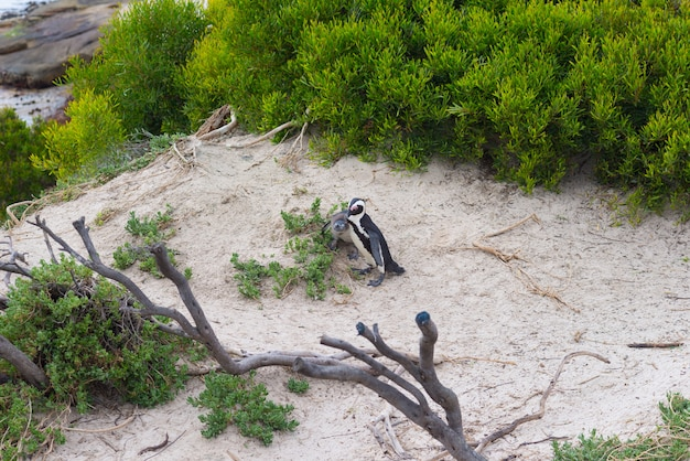 The african penguin colony on cape peninsula at boulders beach