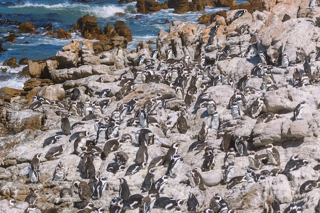 南アフリカのベティ湾にあるアフリカのペンギンのコロニー