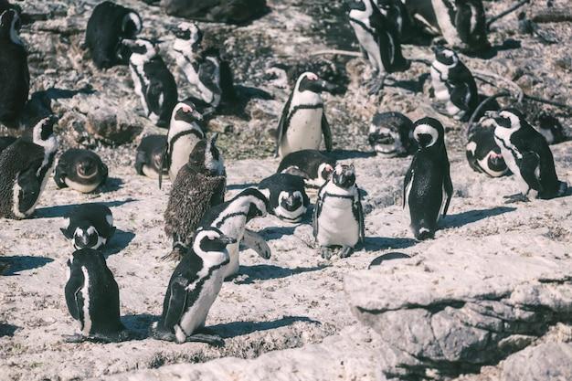 Африканская колония пингвинов в заливе бетти, южная африка
