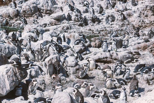 African penguin colony at stony point in betty's bay, south africa
