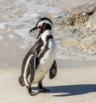 砂浜のビーチでアフリカのペンギン