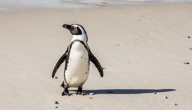African penguin on a sandy beach