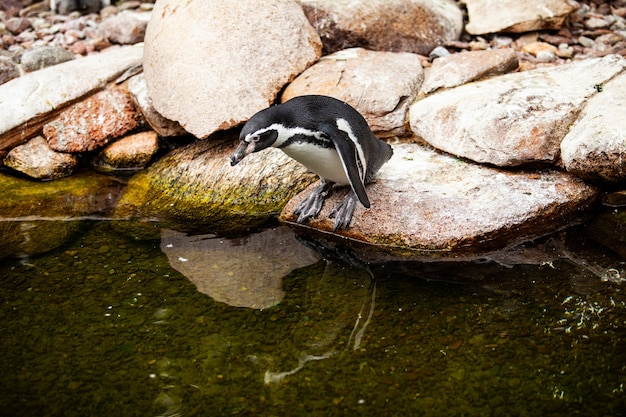 Африканский пингвин стоит на скалах.