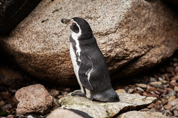 African penguin stands on the rocks.