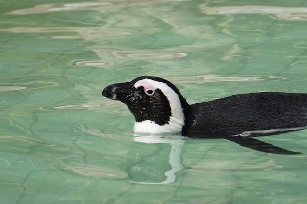 African penguin swimming in the pool with clean water inside