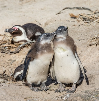 African penguins on a sandy beach