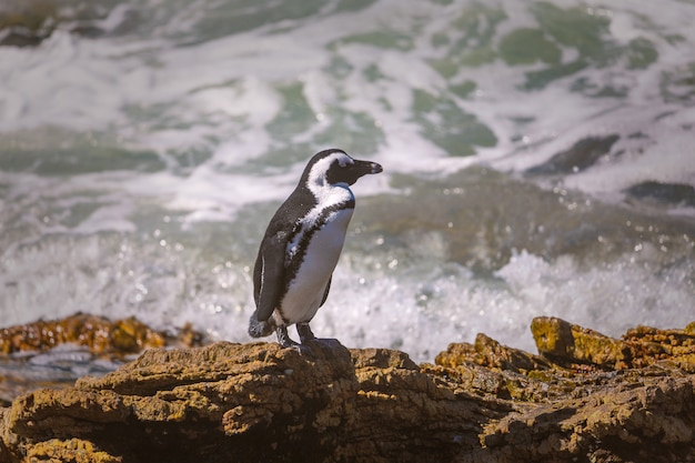 African penguins staying on the rock at betty's bay, south africa