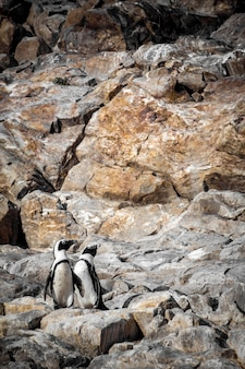 African penguins in a stony area in south africa