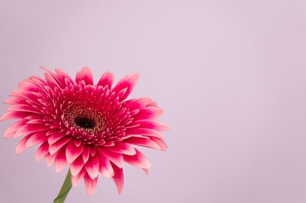 白で隔離されるアフリカのピンクのデイジーガーベラ